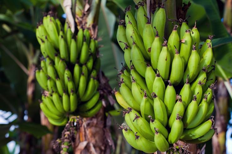 Jamaican bananas re-enter British market 8