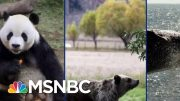 Panda Bears, Elephants, Might Not Be Saved In Trump's America | The Beat With Ari Melber | MSNBC 2