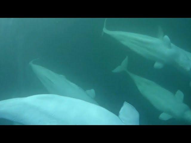 Microplastics found inside Arctic beluga whales 7